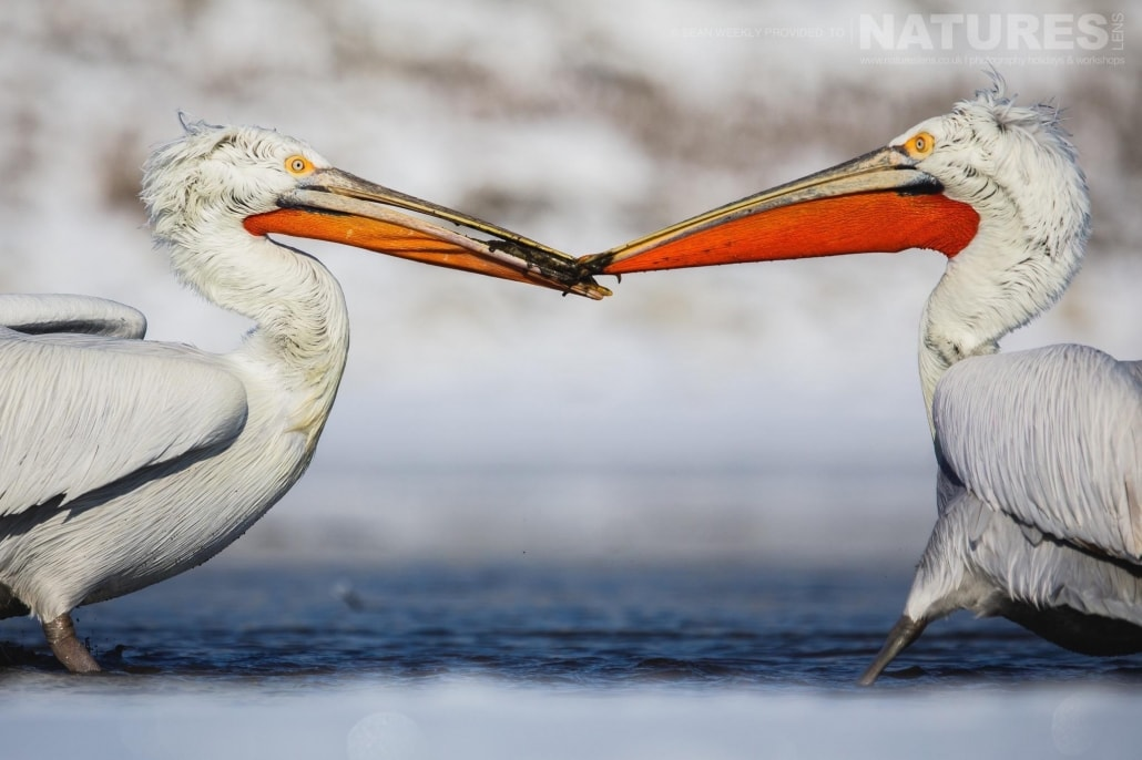 A pair of Dalmatian Pelicans tussle over a fish on the banks of a frozen Lake Kerkini photographed on the NaturesLens Dalmatian Pelicans Photography Holiday