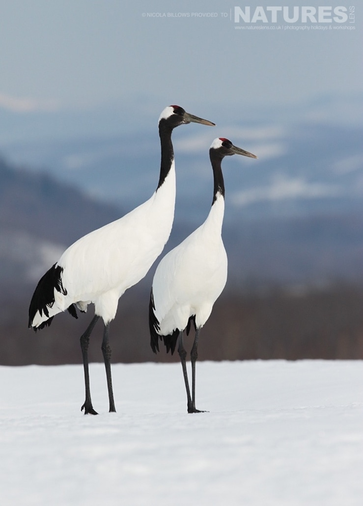 A pair of Red Crowned Cranes in the snowy Hokkaido landscape photographed by Nicola Billows during the NaturesLens Japanese Winter Wildlife Photography Holiday