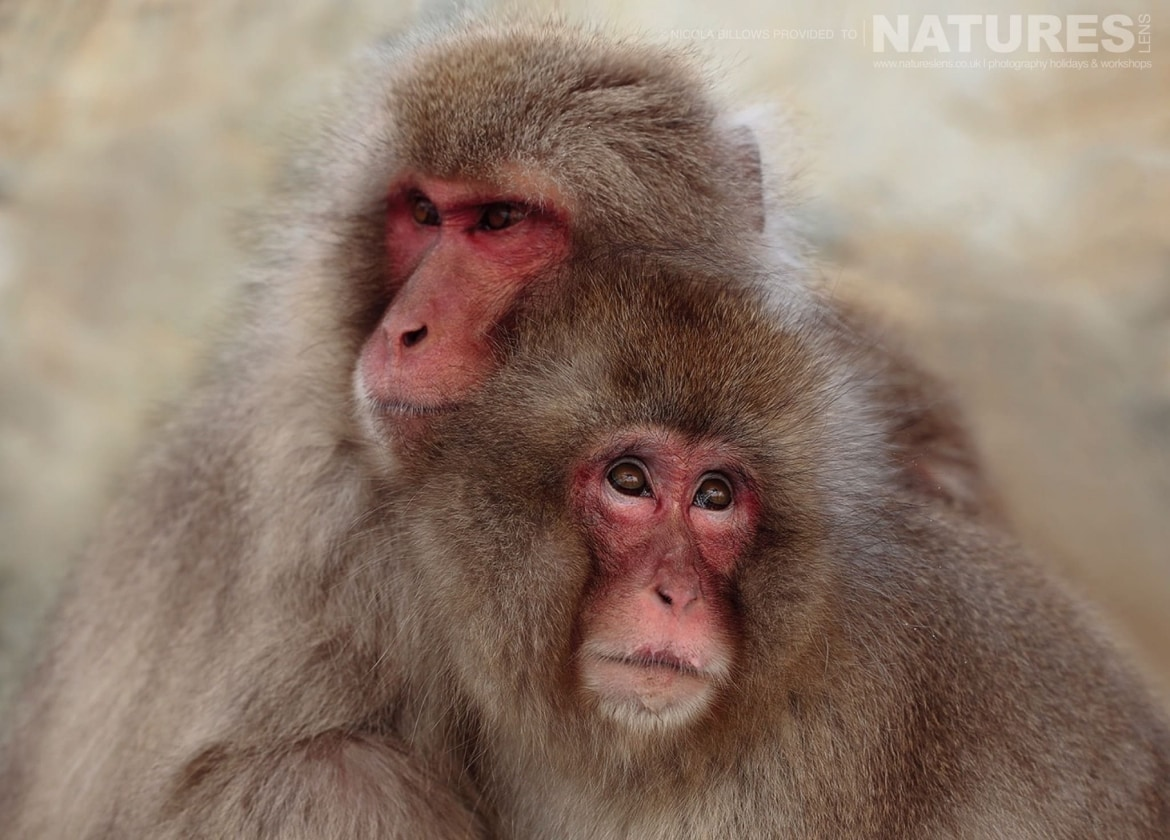 A pair of huddled snow monkeys of Hells Valley on the main island of Japan photographed by Nicola Billows during the NaturesLens Japanese Winter Wildlife Photography Holiday