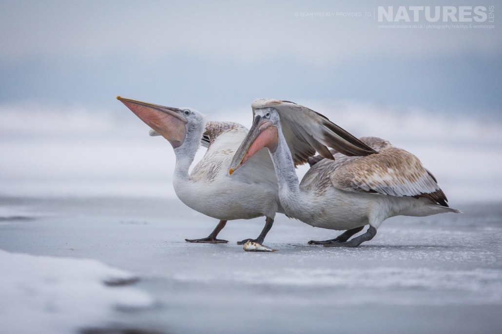 A pair of pelicans on the ice of a frozen Lake Kerkini photographed on the NaturesLens Dalmatian Pelicans Photography Holiday