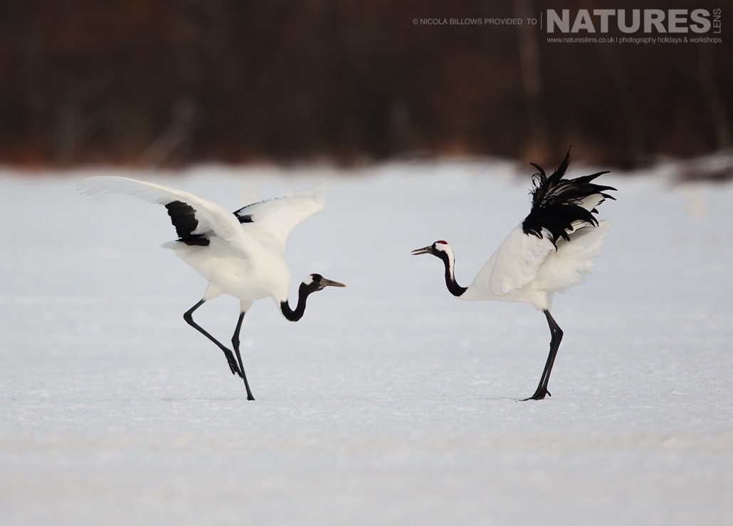 A pair of red crowned cranes perform their dance on the snowy landscape of Hokkaido photographed by Nicola Billows during the NaturesLens Japanese Winter Wildlife Photography Holiday