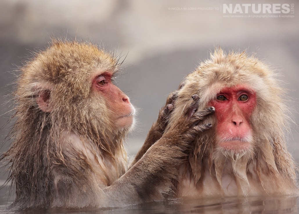A pair of snow monkeys groom each other whilst sat in the thermal pools photographed by Nicola Billows during the NaturesLens Japanese Winter Wildlife Photography Holiday