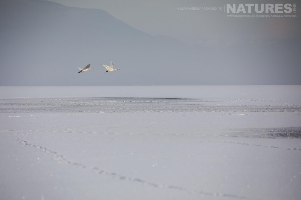 A pair of swans take off & fly above the snow clad surface of a frozen Lake Kerkini photographed on the NaturesLens Dalmatian Pelicans Photography Holiday