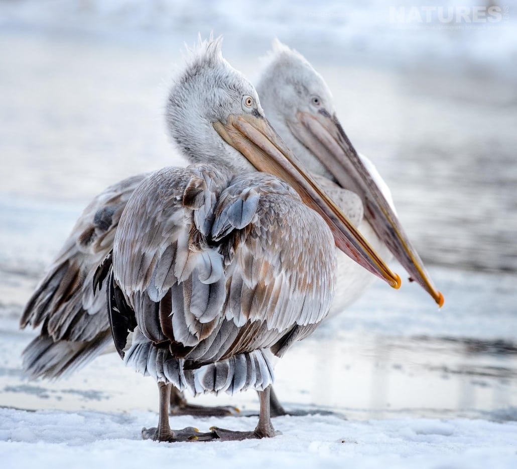 A pair of white pelicans, stood adjacent to an icy stretch of water near Lake Kerkini photographed on the NaturesLens Dalmatian Pelicans Photography Holiday
