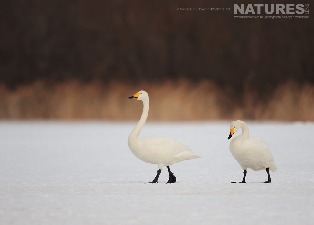 A pair of whooper swans wander across the snowy landscape of Hokkaido photographed by Nicola Billows during the NaturesLens Japanese Winter Wildlife Photography Holiday