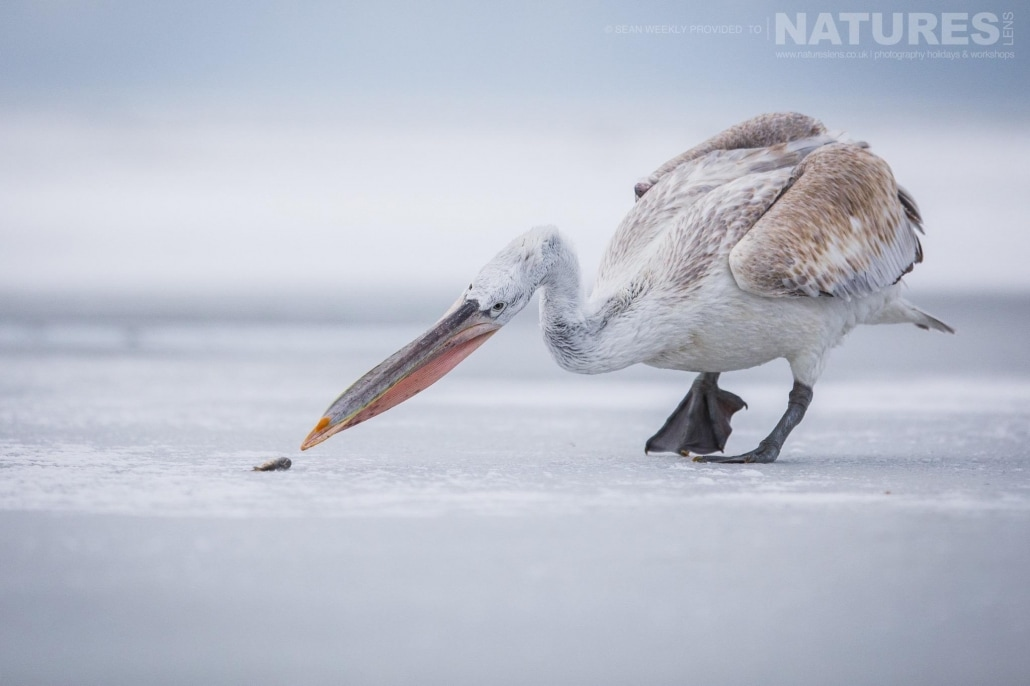 A pelican picks up a fish from the ice of a frozen Lake Kerkini photographed on the NaturesLens Dalmatian Pelicans Photography Holiday