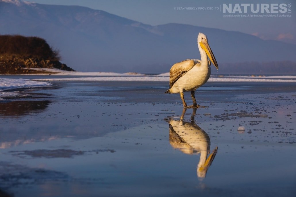 A pelican reflected in the ice of a frozen Lake Kerkini photographed on the NaturesLens Dalmatian Pelicans Photography Holiday