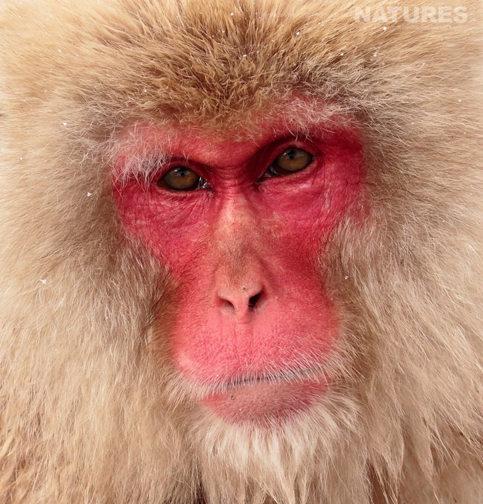 A portrait of one of the adult snow monkeys photographed by Nicola Billows during the NaturesLens Japanese Winter Wildlife Photography Holiday