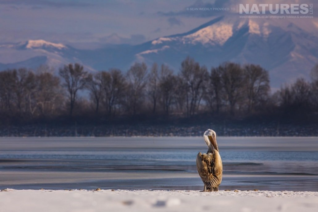 A preening pelican on the snow covered shoreline of a frozen Lake Kerkini photographed on the NaturesLens Dalmatian Pelicans Photography Holiday