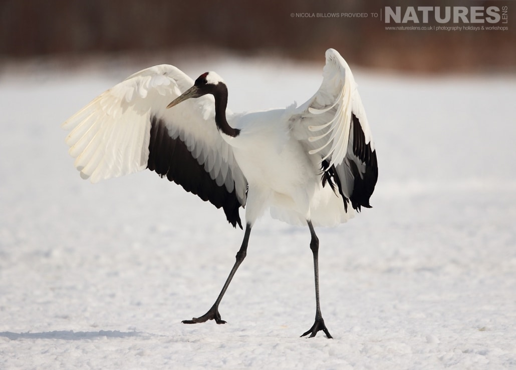 A red crowned crane having just landed on the snowy landscape of Hokkaido photographed by Nicola Billows during the NaturesLens Japanese Winter Wildlife Photography Holiday