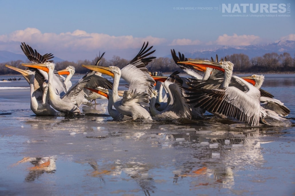 A scoop of Dalmatian Pelicans jostle in position for a fish photographed on the NaturesLens Dalmatian Pelicans Photography Holiday