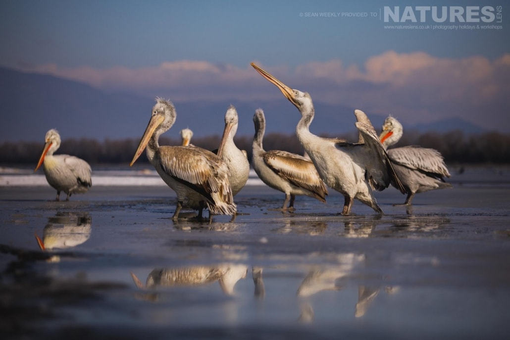 A scoop of Dalmatian Pelicans on the ice of a frozen Lake Kerkini photographed on the NaturesLens Dalmatian Pelicans Photography Holiday
