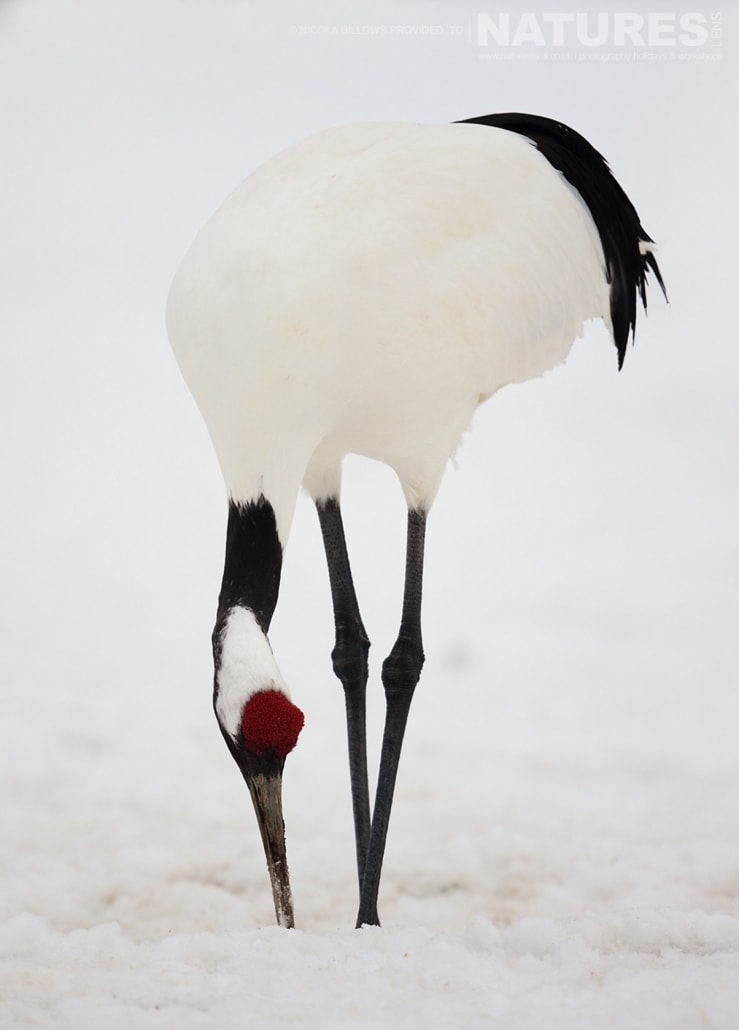 A solitary red crowned crane isolated within the snowy landscape of Hokkaido photographed by Nicola Billows during the NaturesLens Japanese Winter Wildlife Photography Holiday