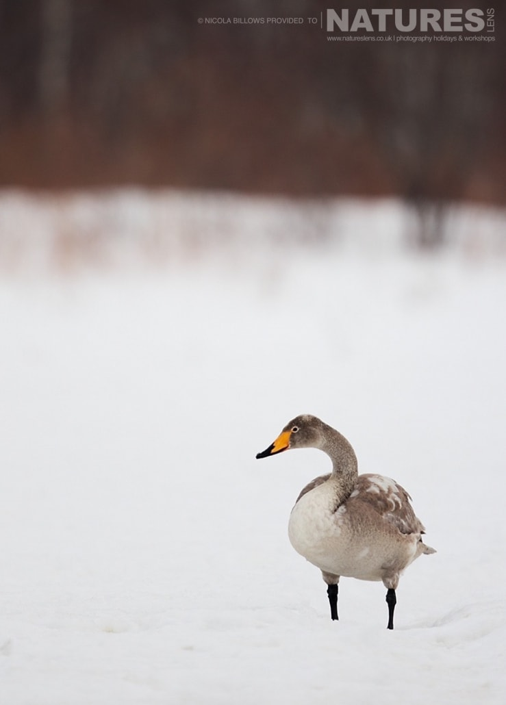 A solitary whooper swan isolated within the snowy landscape of Hokkaido photographed by Nicola Billows during the NaturesLens Japanese Winter Wildlife Photography Holiday