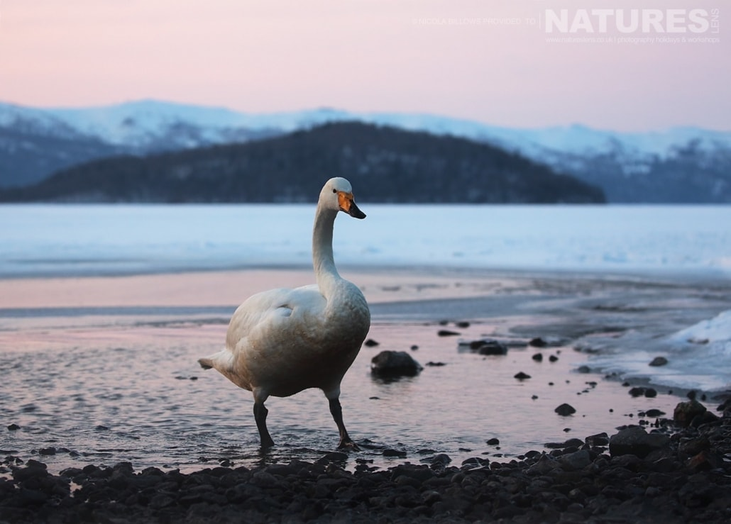 A solitary whooper swan on the edge of one of the Caldera Lakes of Hokkaido photographed by Nicola Billows during the NaturesLens Japanese Winter Wildlife Photography Holiday
