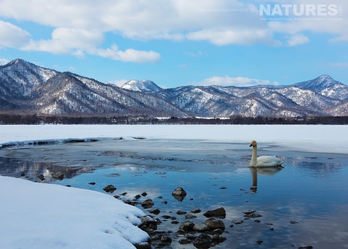 A solitary whooper swan swims in a thawed area of one of the Caldera Lakes of Hokkaido photographed by Nicola Billows during the NaturesLens Japanese Winter Wildlife Photography Holiday