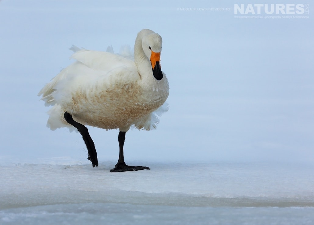 A solitary whooper swan walks on the edge of one of the Caldera Lakes of Hokkaido photographed by Nicola Billows during the NaturesLens Japanese Winter Wildlife Photography Holiday