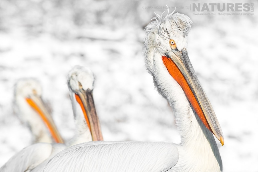 A trio of Dalmatian Pelicans against a snowy backdrop photographed on the NaturesLens Dalmatian Pelicans Photography Holiday