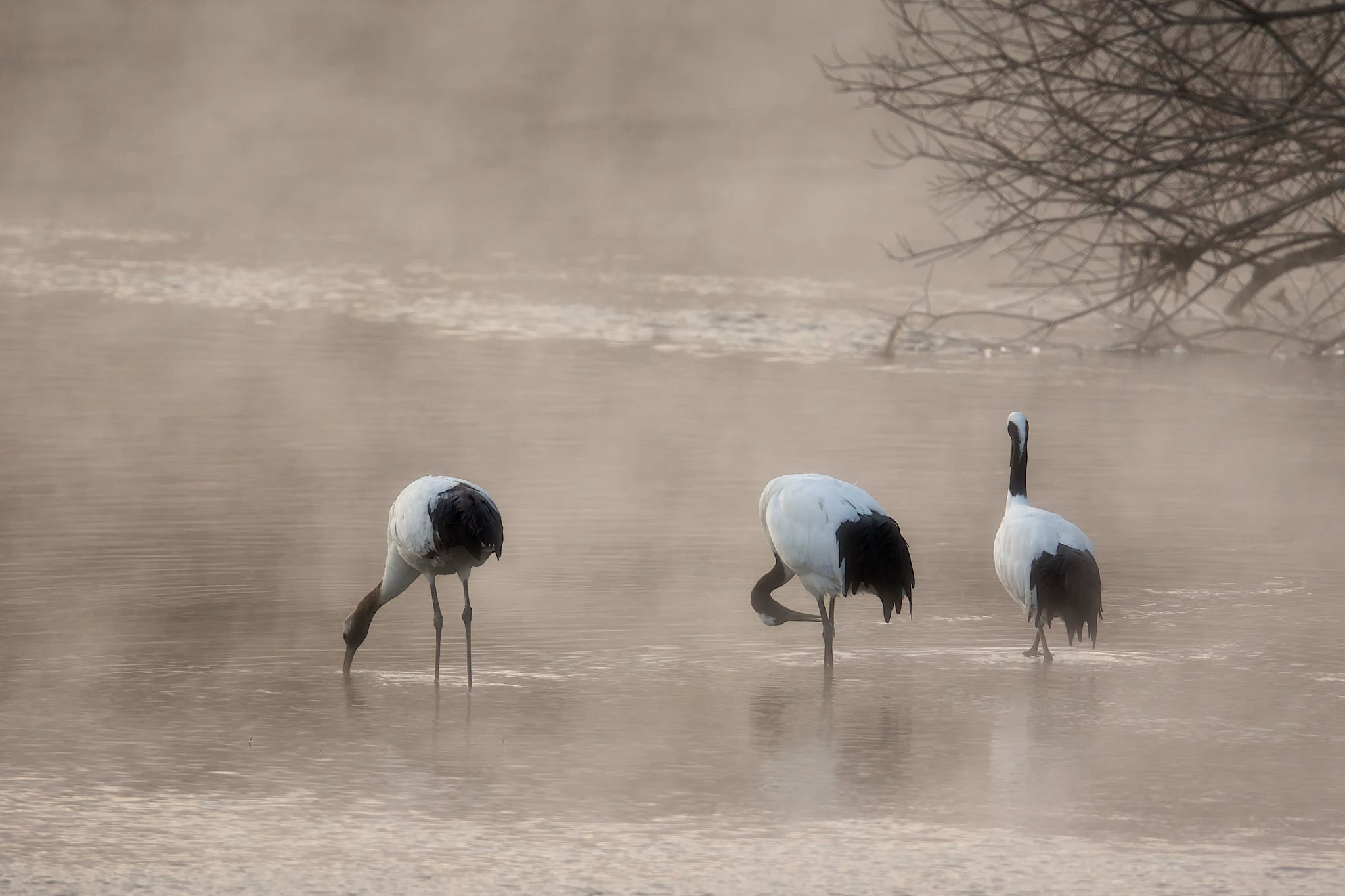A Trio Of Japanese Cranes In The Mist Rising Off The River At Their Roosting Site   Photographed During The NaturesLens Winter Wildlife Of Japan Photography Holiday