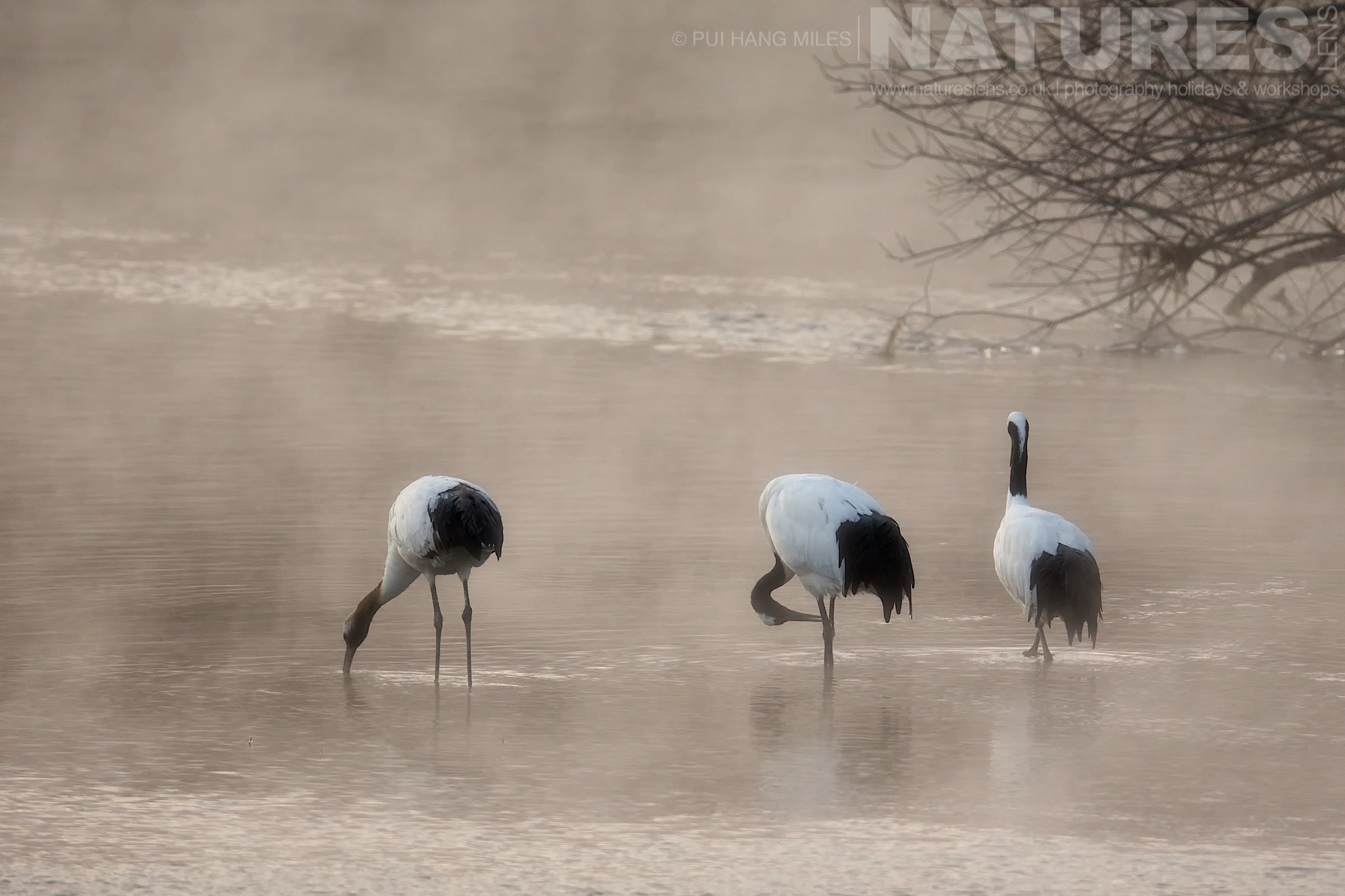 A Trio Of Japanese Cranes In The Mist Rising Off The River At Their Roosting Site   Photographed During The Winter Wildlife Of Japan Photography Holiday