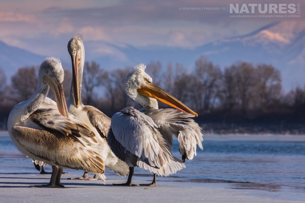 A trio of pelicanson the icy edges of a frozen Lake Kerkini photographed on the NaturesLens Dalmatian Pelicans Photography Holiday