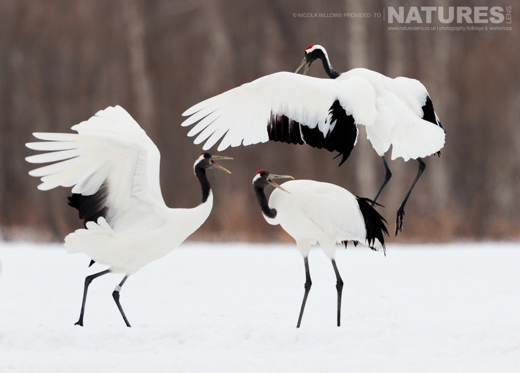 A trio of red crowned cranes perform their dance on the snowy landscape of Hokkaido photographed by Nicola Billows during the NaturesLens Japanese Winter Wildlife Photography Holiday