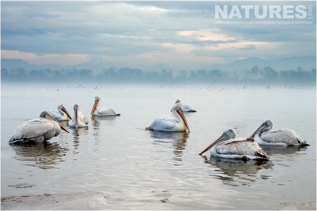 A truly beautiful scene of the dalmatian pelicans with the mist rising behind them off the lake photographed during the NaturesLens Dalmatian Pelican Photography Holiday