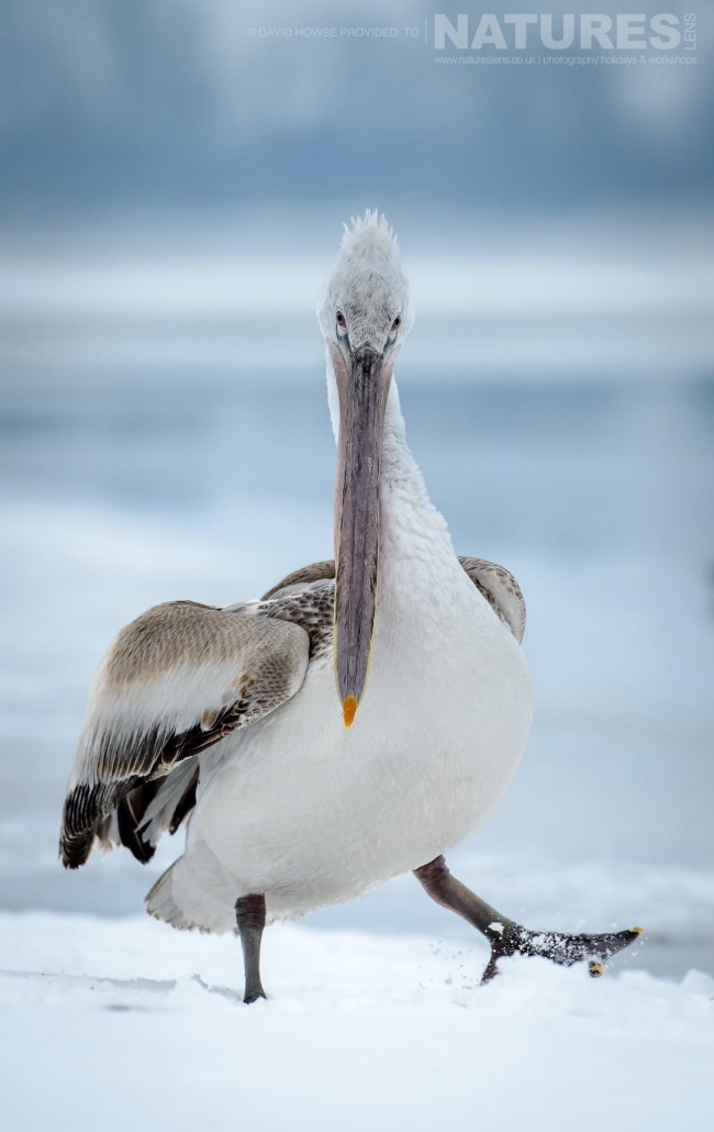 A white Pelican juvenile strides through the snow on the banks of a frozen Lake Kerkini photographed on the NaturesLens Dalmatian Pelicans Photography Holiday