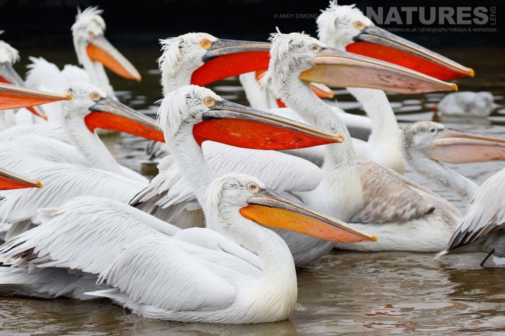 All in profile, one of the groups of Dalmatian Pelicans photographed on the NaturesLens Dalmatian Pelicans Photography Holiday