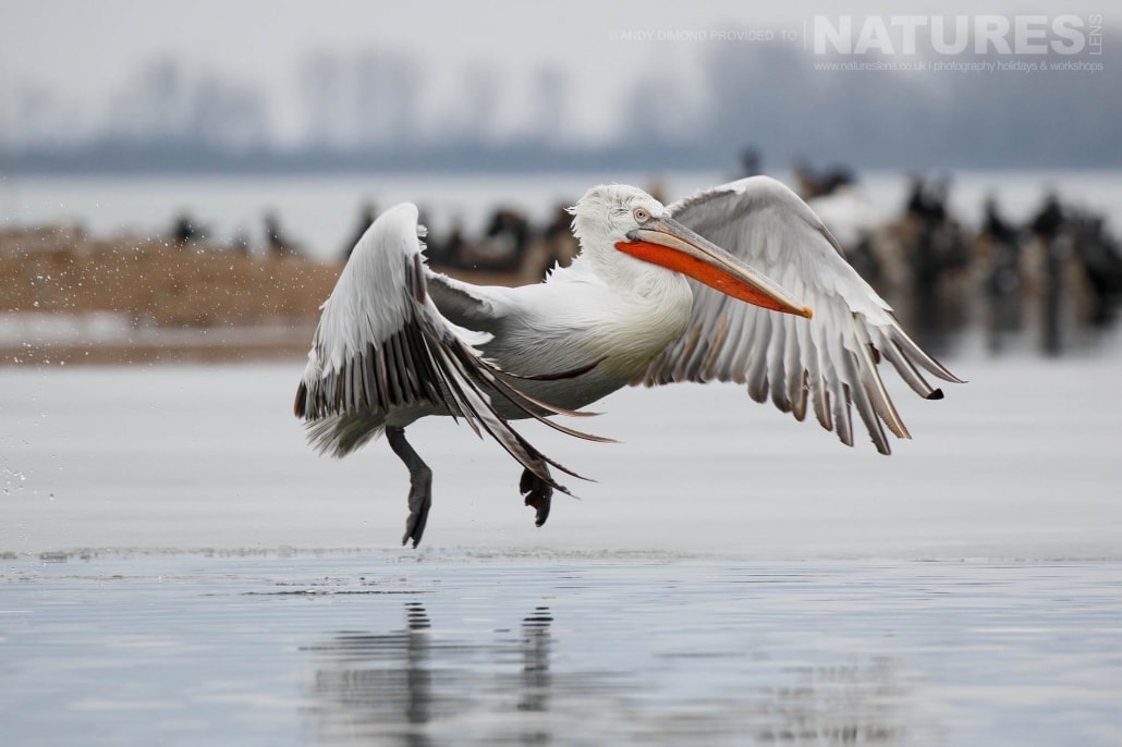 An adult Dalmatian Pelican lowers it's wings for landing on the freezing waters photographed on the NaturesLens Dalmatian Pelicans Photography Holiday