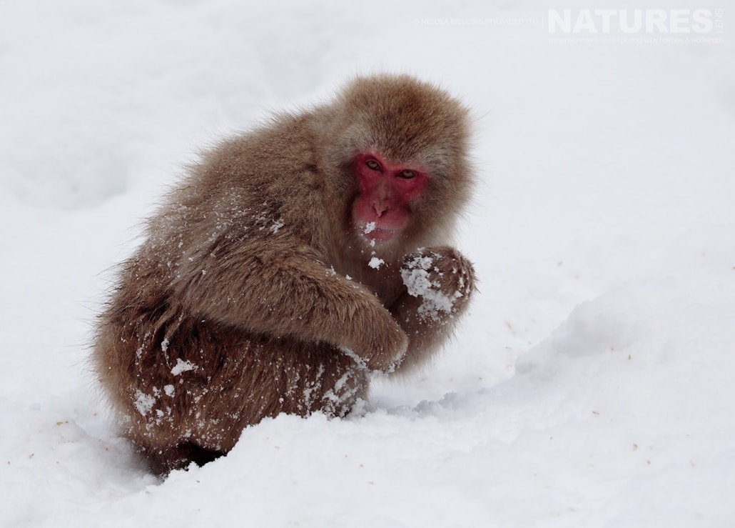 An adult snow monkey of Hells Valley on the main island of Japan photographed by Nicola Billows during the NaturesLens Japanese Winter Wildlife Photography Holiday