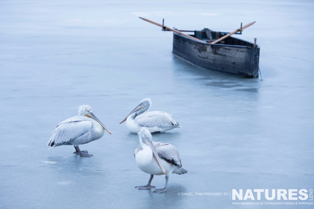 An adult & two juvenile pelicans on a frozen Lake Kerkini photographed on the NaturesLens Dalmatian Pelicans Photography Holiday