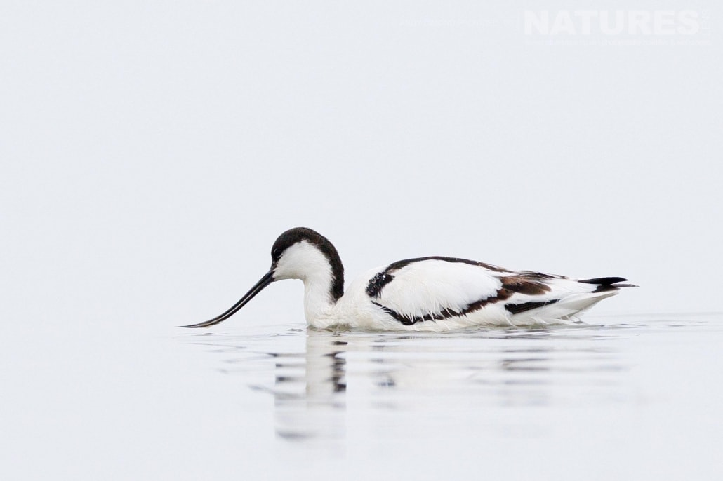An avocet captured in high key style photographed on the NaturesLens Dalmatian Pelicans Photography Holiday