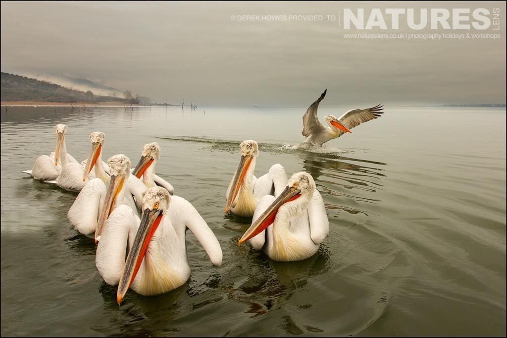 Another set of those special conditions that you hope for at Lake Kerkini, Pelicans & mist make for dreamy sequences photographed during the NaturesLens Dalmatian Pelican Photography Holiday