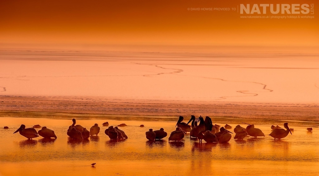 As the sun rose, the pelicans started to move & wake to their frozen environment photographed on the NaturesLens Dalmatian Pelicans Photography Holiday