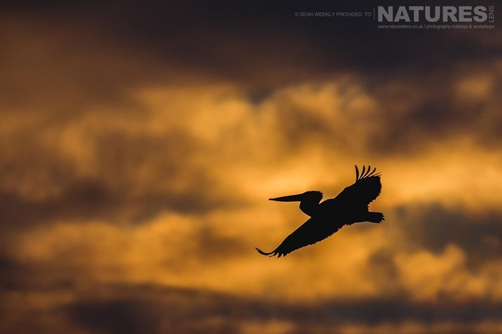 Captured as the sun began to rise, a pelican soars above Lake Kerkini photographed on the NaturesLens Dalmatian Pelicans Photography Holiday