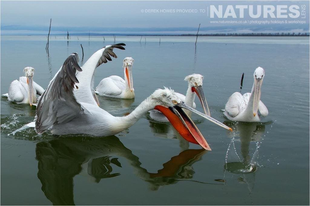 Catching fish as the others apparently watch the demonstration by one of the pelicans of Kerkini photographed during the NaturesLens Dalmatian Pelican Photography Holiday