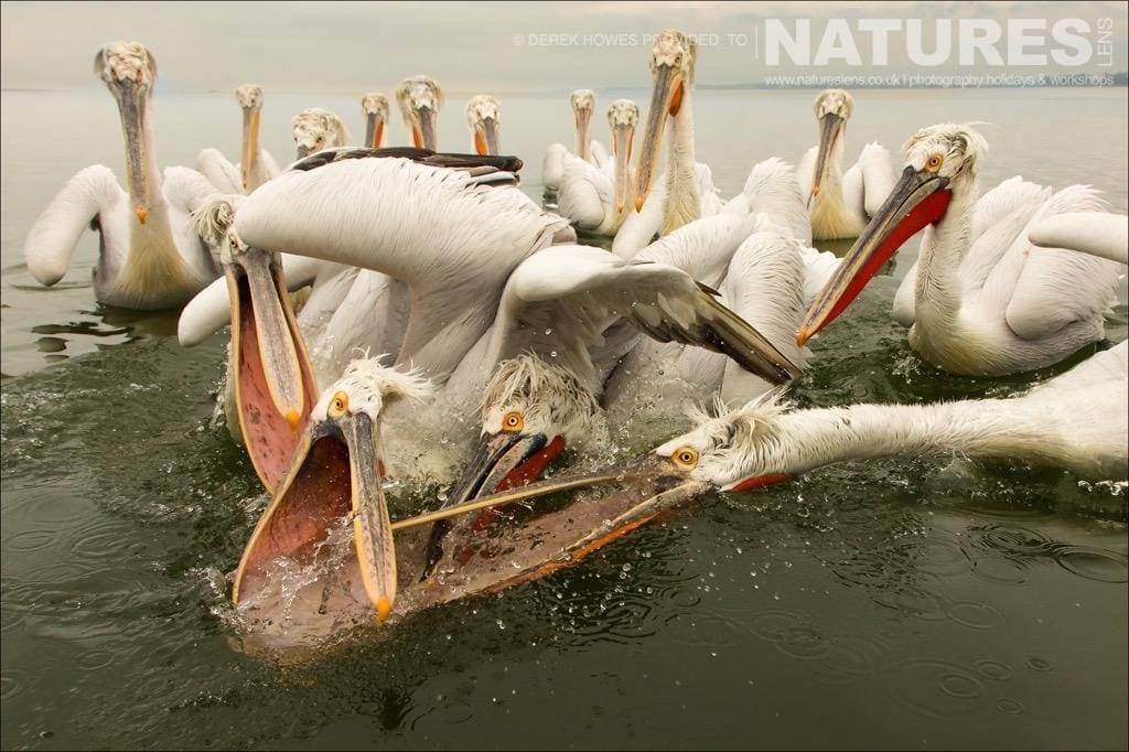 Catching fish is truly a competitive sport amongst the pelicans of Lake Kerkini photographed during the NaturesLens Dalmatian Pelican Photography Holiday