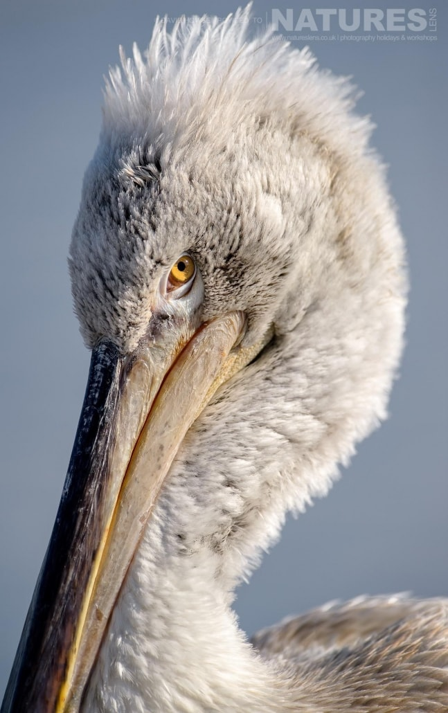 Closeup of a juvenile Dalmatian Pelican photographed on the NaturesLens Dalmatian Pelicans Photography Holiday