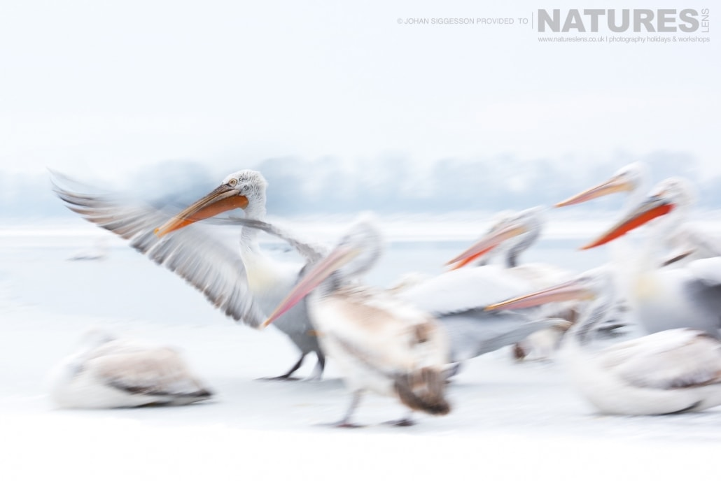 Frozen motion, some of Dalmatian Pelicans attempt to get some warmth into their wings photographed on the NaturesLens Dalmatian Pelicans Photography Holiday