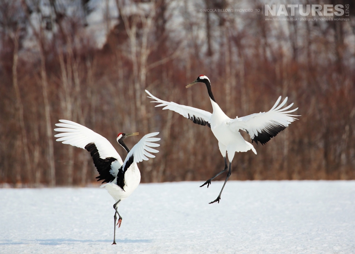 High in the air a duo of red crowned cranes perform their dance on the snowy landscape of Hokkaido photographed by Nicola Billows during the NaturesLens Japanese Winter Wildlife Photography Holiday
