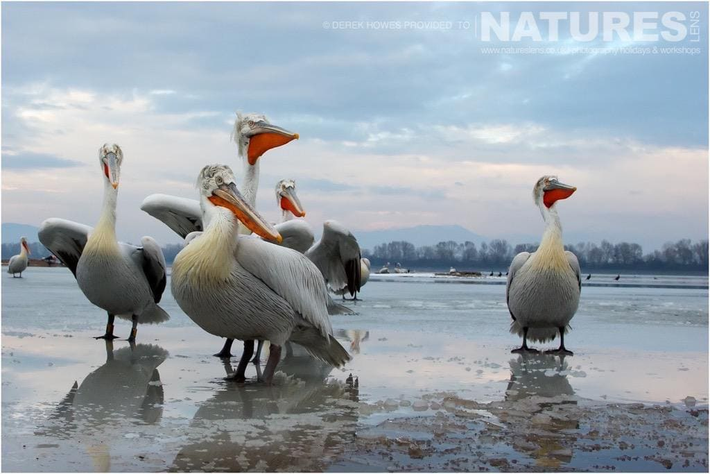 On the ice of a frozen Lake Kerkini, the pelicans waited to be fed by the fishermen photographed during the NaturesLens Dalmatian Pelican Photography Holiday