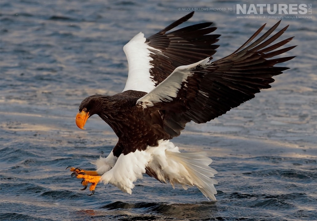 One of Hokkaido's Steller Sea Eagles swoops for a fish photographed by Nicola Billows during the NaturesLens Japanese Winter Wildlife Photography Holiday