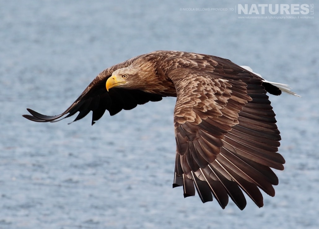 One of Hokkaido's White Tailed Sea Eagles photographed by Nicola Billows during the NaturesLens Japanese Winter Wildlife Photography Holiday