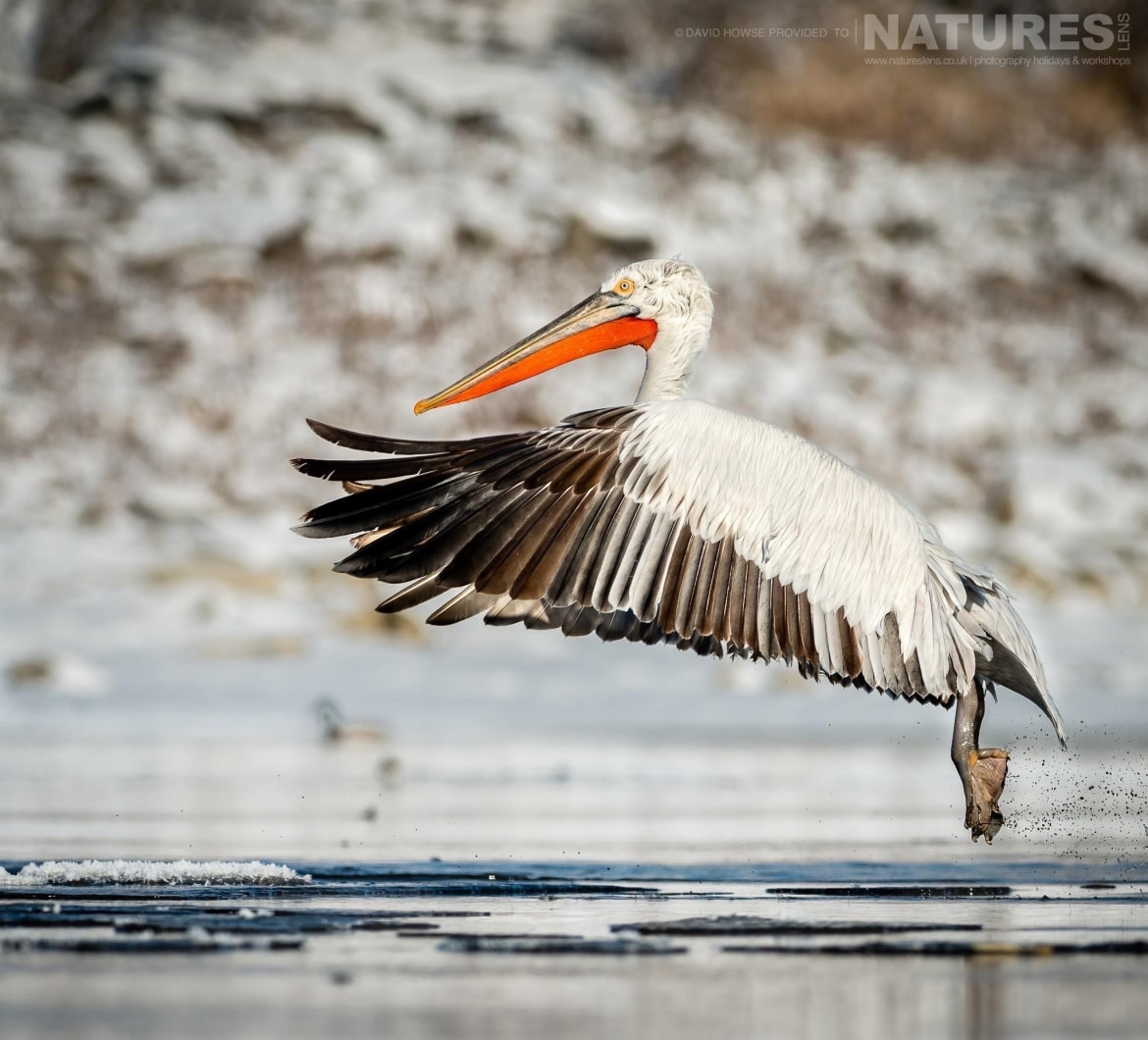 One of the Dalmatian Pelicans comes in to land on an icy stretch of water near Lake Kerkini photographed on the NaturesLens Dalmatian Pelicans Photography Holiday