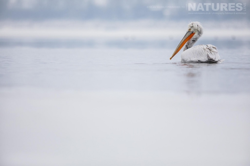 One of the Dalmatian Pelicans glides gracefully through the freezing waters of Lake Kerkini photographed on the NaturesLens Dalmatian Pelicans Photography Holiday
