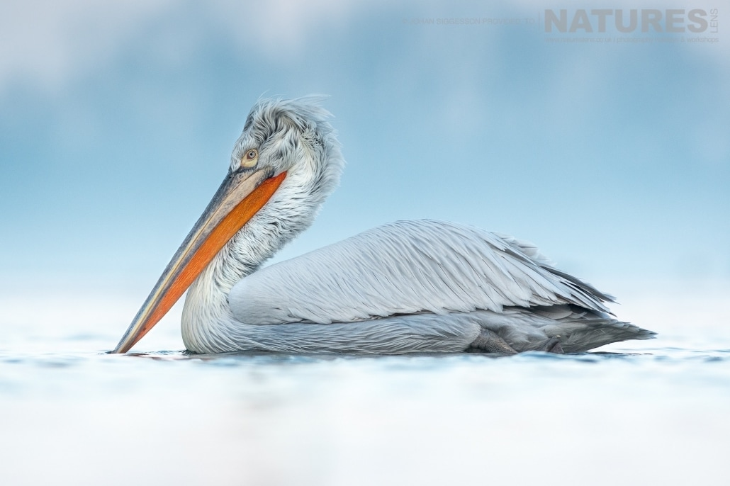 One of the Dalmatian Pelicans glides serenely on the icy waters of Lake Kerkini photographed on the NaturesLens Dalmatian Pelicans Photography Holiday