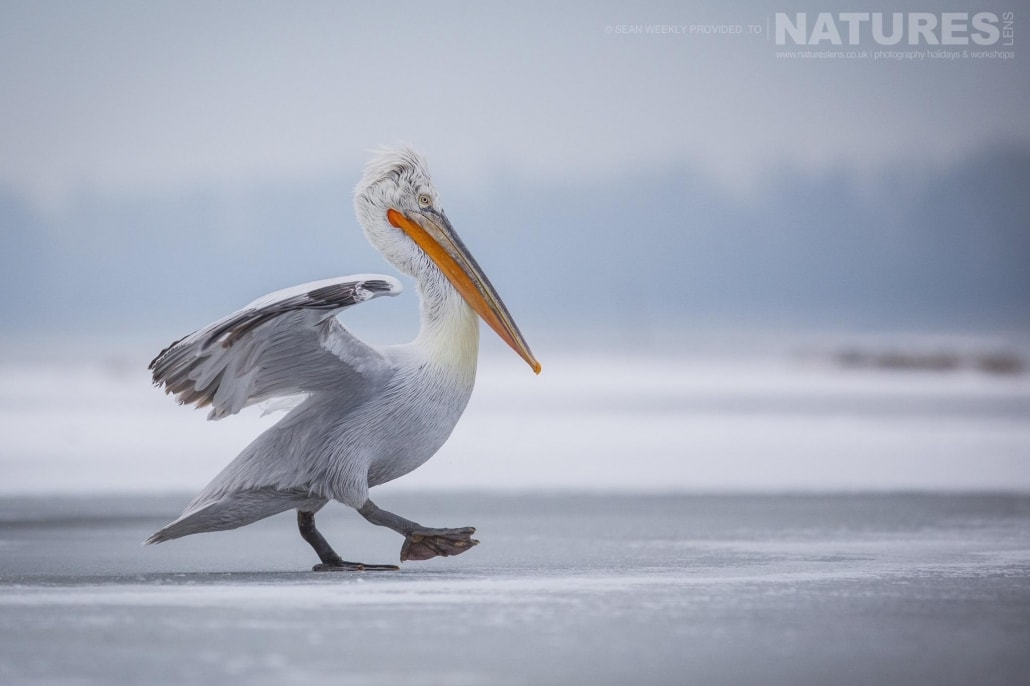 One of the Dalmatian Pelicans strides across the ice of a frozen Lake Kerkini photographed on the NaturesLens Dalmatian Pelicans Photography Holiday