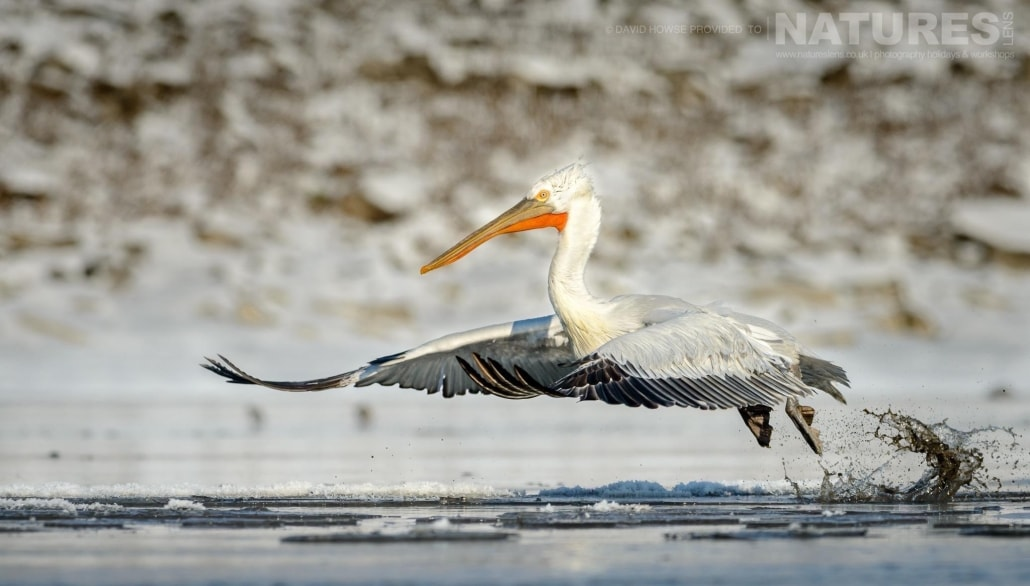 One of the Dalmatian Pelicans takes off from an icy stretch of water near Lake Kerkini photographed on the NaturesLens Dalmatian Pelicans Photography Holiday