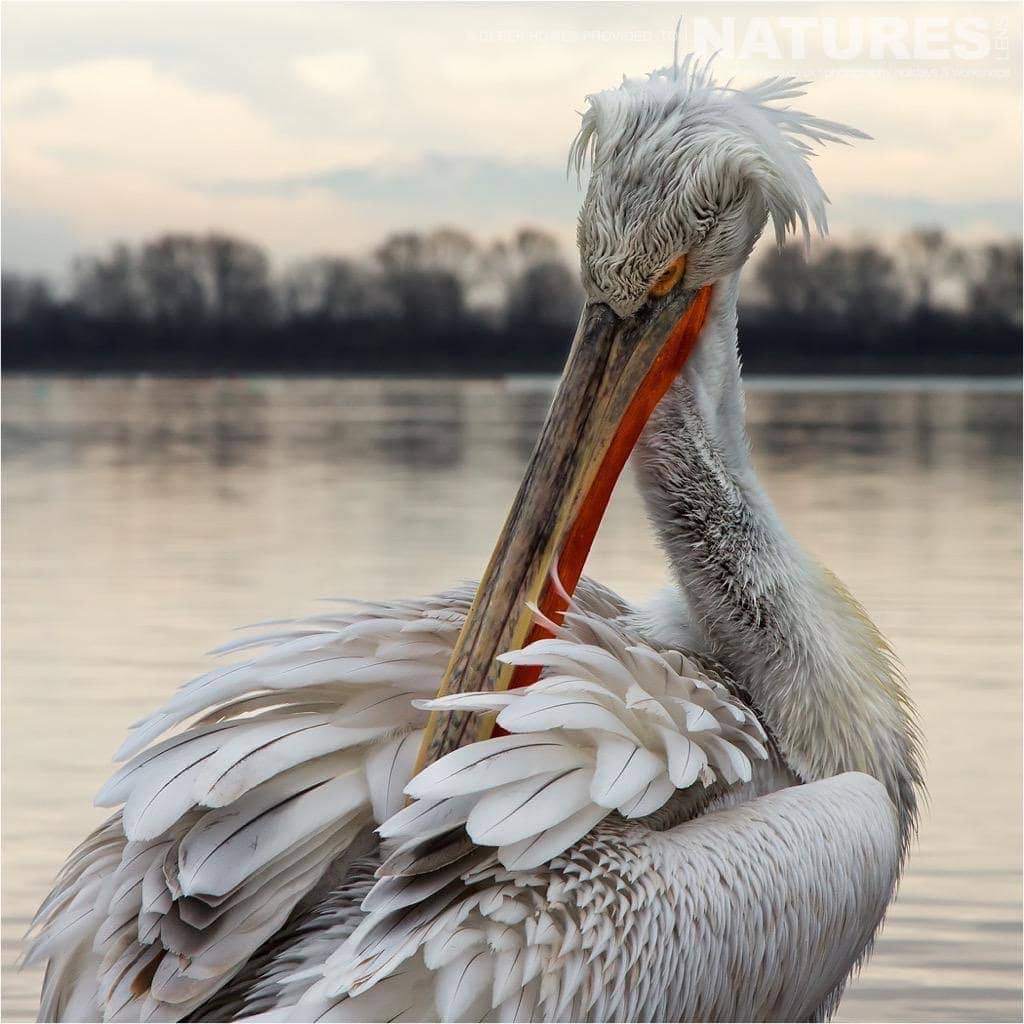 One of the Kerkini Pelicans takes time to preen that impressive plummage photographed during the NaturesLens Dalmatian Pelican Photography Holiday